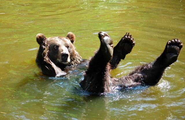 bear album