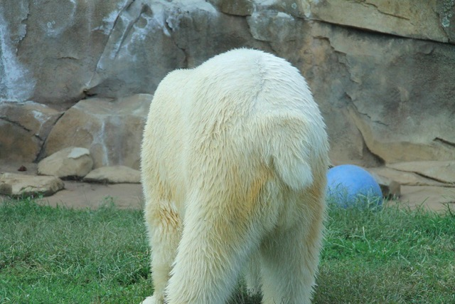 do polar bears have tails?