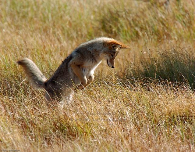 coyote album